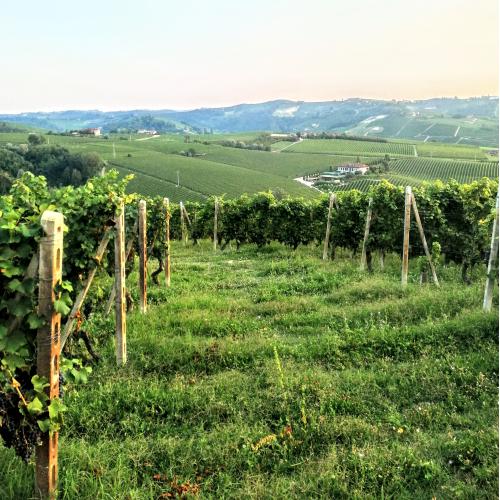 Waves of vineyards in Treiso