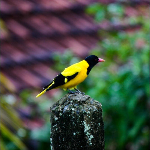 #Black hooded Oriole